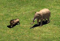 boar_elephant