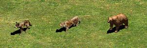 wolf_jaguar_bear